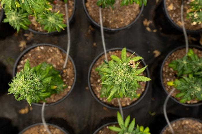 vendre du cannabis cbd ne s'improvise pas min